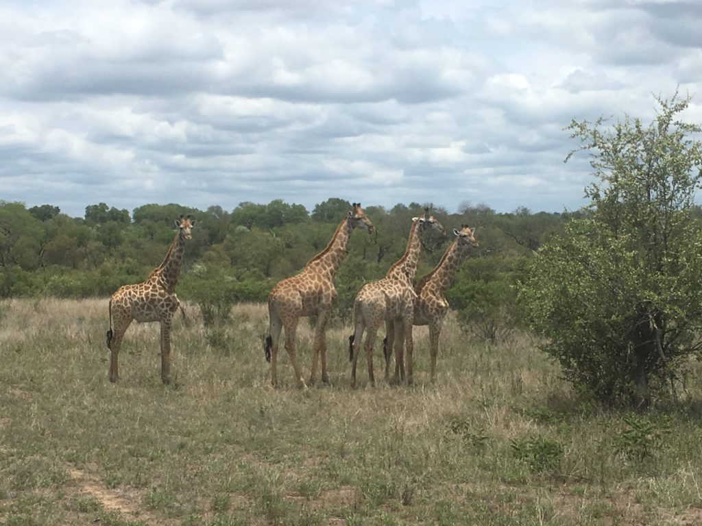 A herd of giraffes.